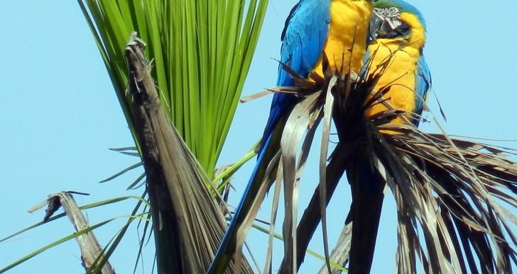 Uruana se destaca na Avifauna do Brasil